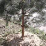 Щепа в качестве мульчи для хвойных деревьев