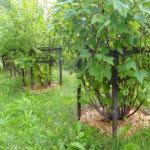 Мульча из щепы защищает ствол дерева