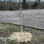 Древесная мульча для защиты деревьев
